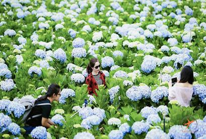Tour Đà Lạt thành phố ngàn hoa, Vườn Hoa Cẩm Tú Cầu, Đồi Chè Cầu Đất, Cổng Trời